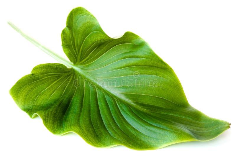 tła zieleni odosobniony liść biel obraz royalty free