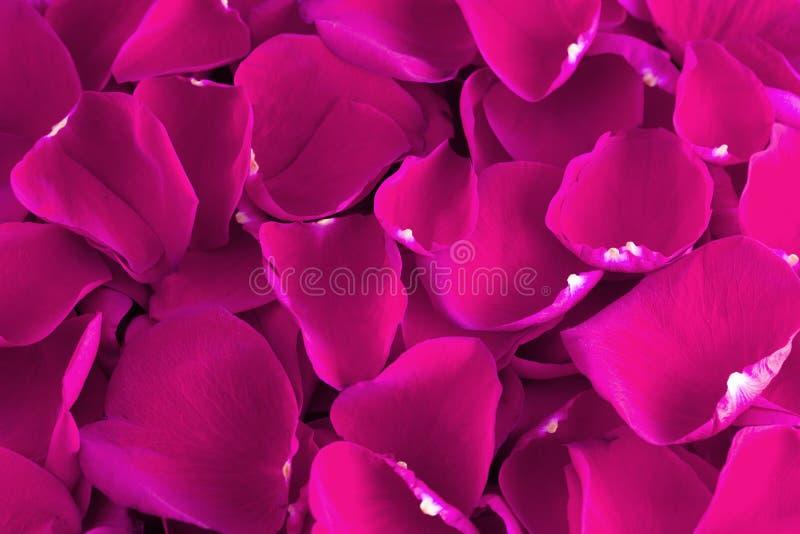 Tło Świezi Jaskrawi menchii róży płatki obraz stock