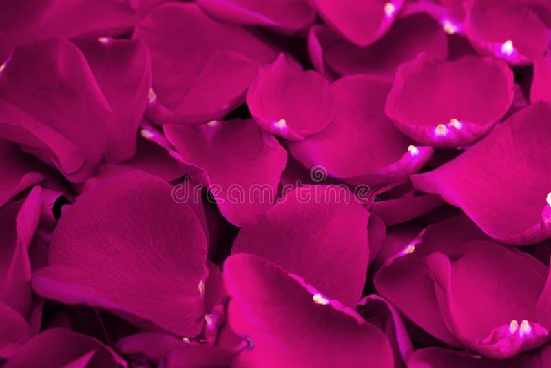 Tło Świezi Jaskrawi menchii róży płatki zdjęcia stock