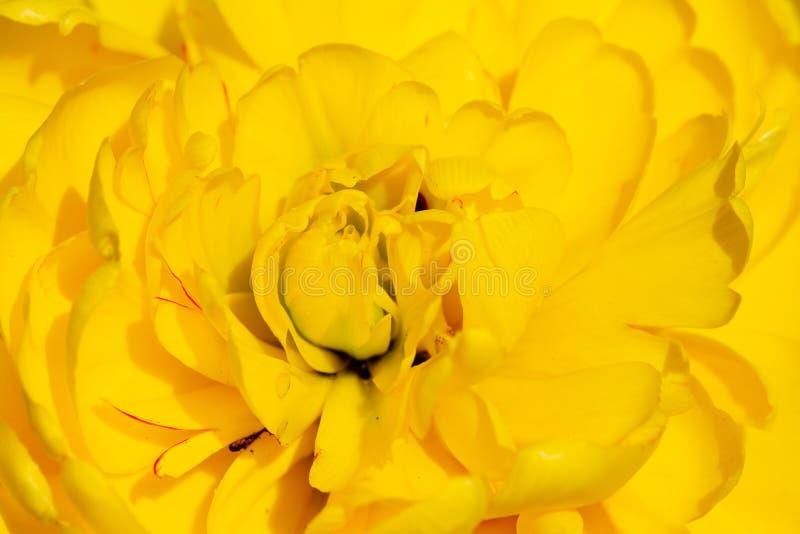 Tło żółtego tulipana dekoracyjnego fotografia royalty free