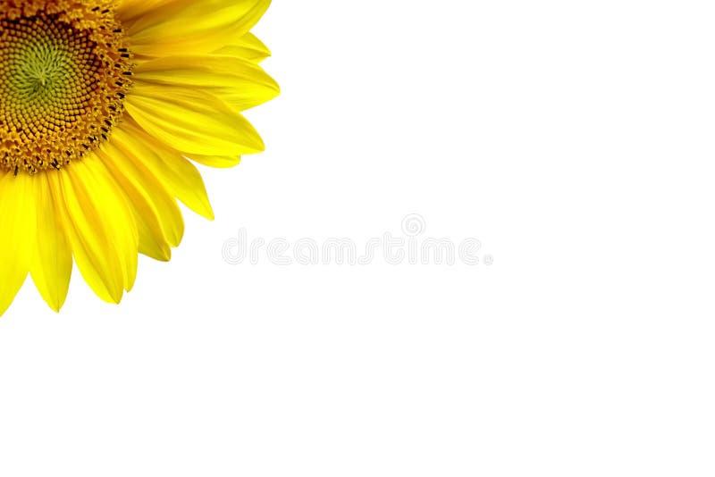 tło białe słonecznikowy ilustracja wektor