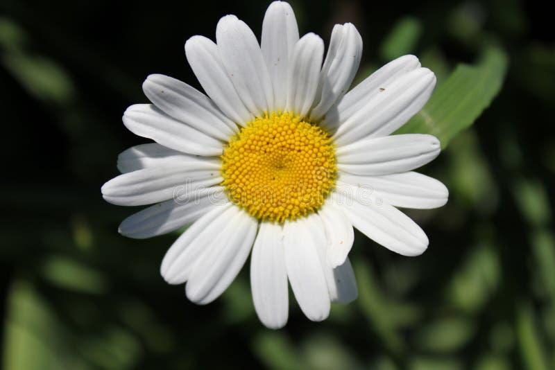 Tło białego kwiatu chamomile obrazy stock