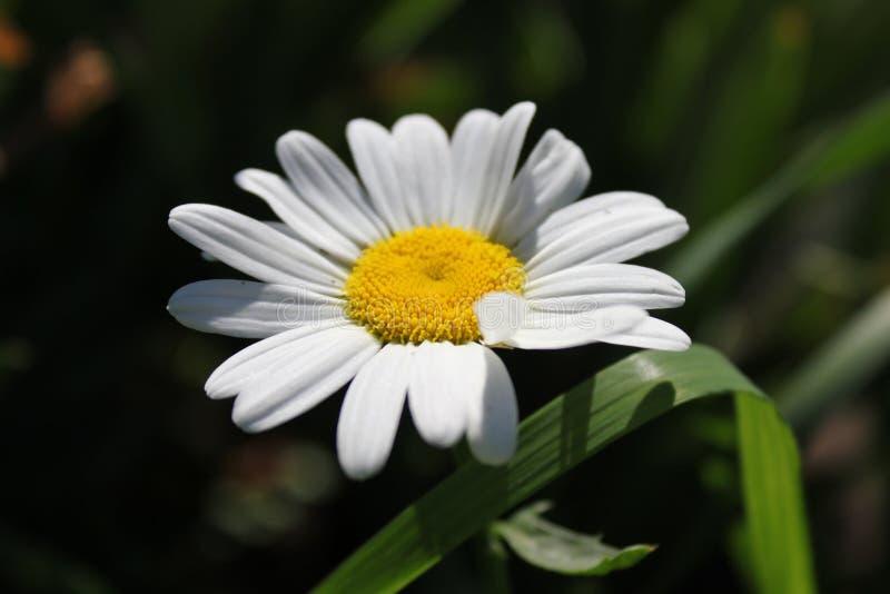 Tło białego kwiatu chamomile zdjęcie royalty free