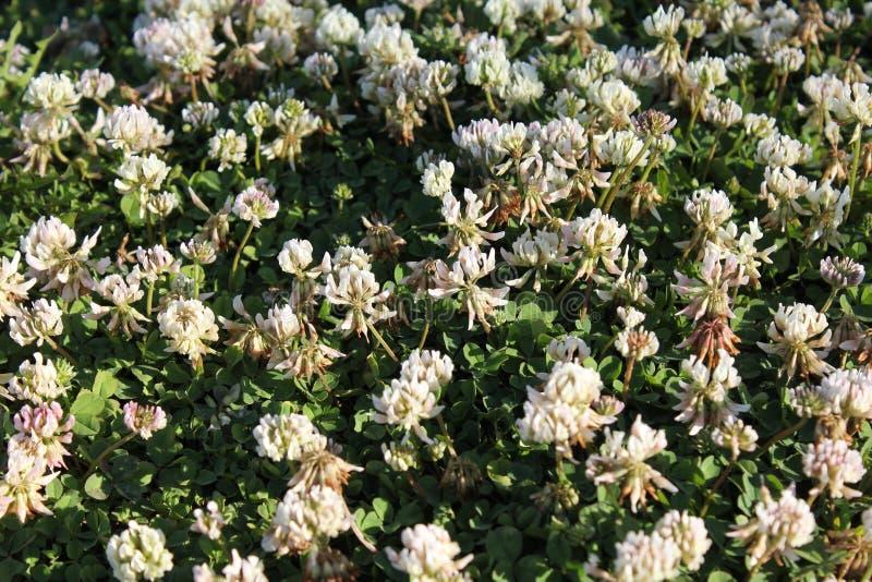 Tło białych kwiatów alissum obraz stock