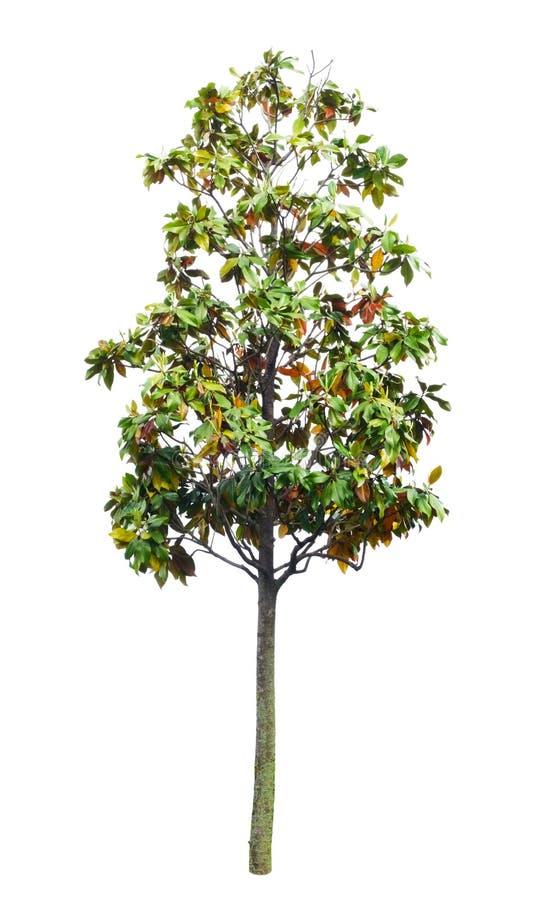tło biel odosobniony drzewny fotografia stock