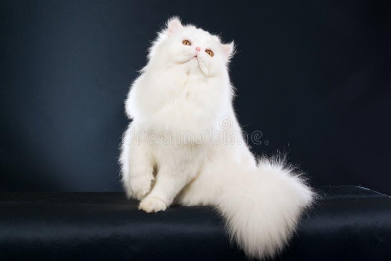 tło biel piękny czarny perski obraz royalty free