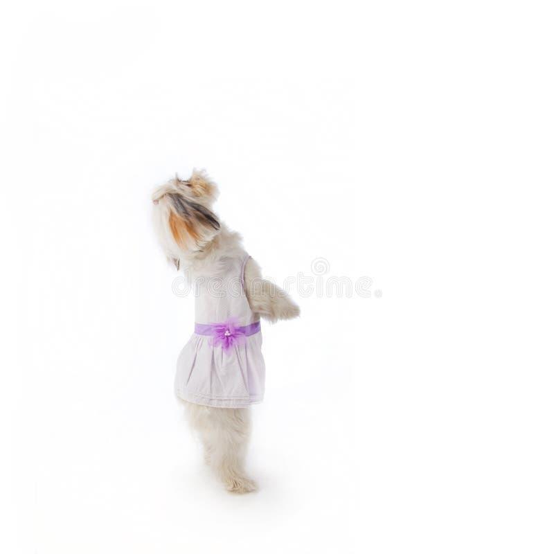 tło biel psi pracowniany obrazy stock