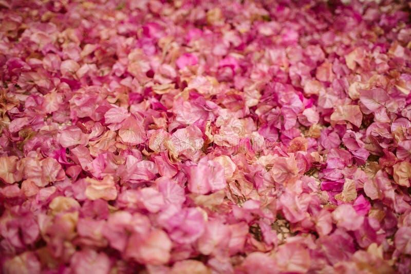Tło bougainvillea kwiaty Mali różowi płatki jako tekstura i tło motyla opadowy kwiecisty kwiatów serca wzoru kolor żółty fotografia stock