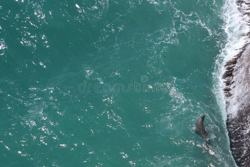 Tło cyraneczki woda morska z futerkową foką na dobrze zdjęcie royalty free