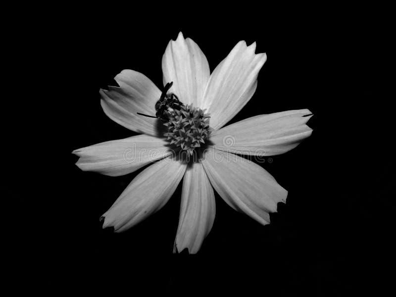 Tło czarny i biały kwiaty z małymi pszczołami zdjęcie stock