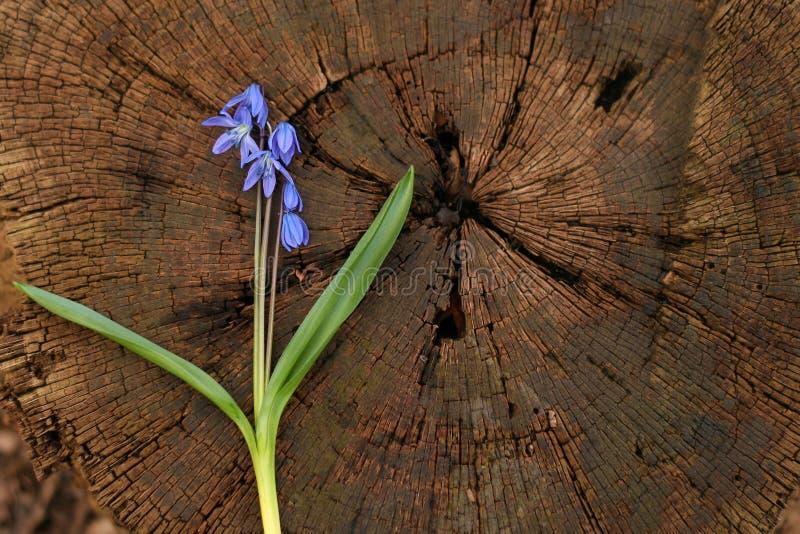 Tło, drewno barkentyna, drzewny fiszorek, cięcie, drzewni pierścionki drzewni obraz stock