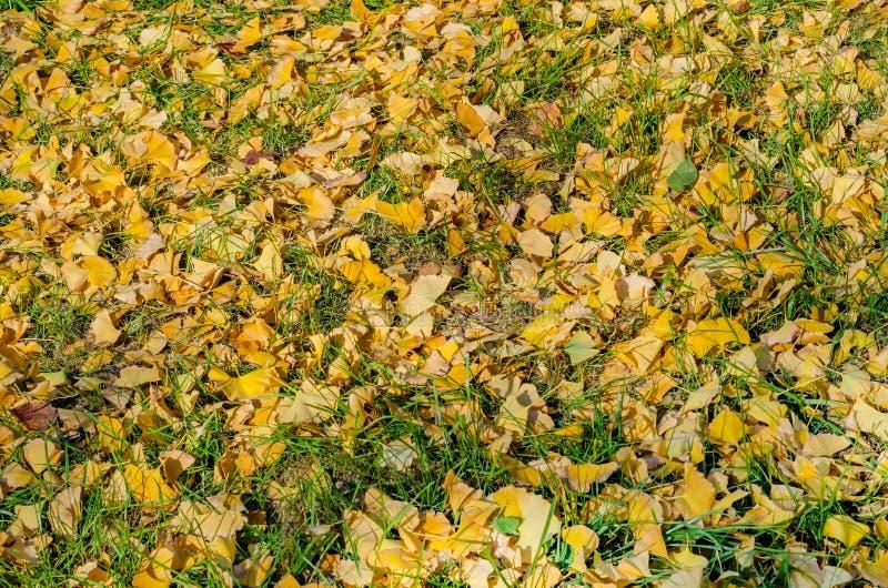 Tło Ginkgo biloba liścia obszar trawiasty obrazy royalty free