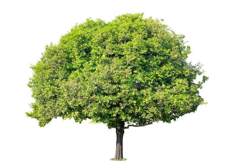 tło ilustracyjnego pojedynczy obrazu drzewny white wektor Ja r w ornamentacyjnym tre zdjęcia stock