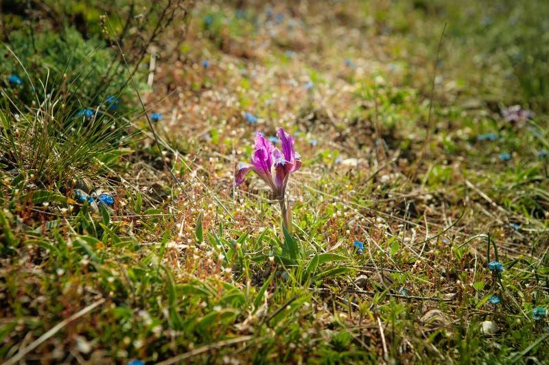 Tło jaskrawa wiosny trawa i mali dzicy purpurowi irysy zdjęcie stock