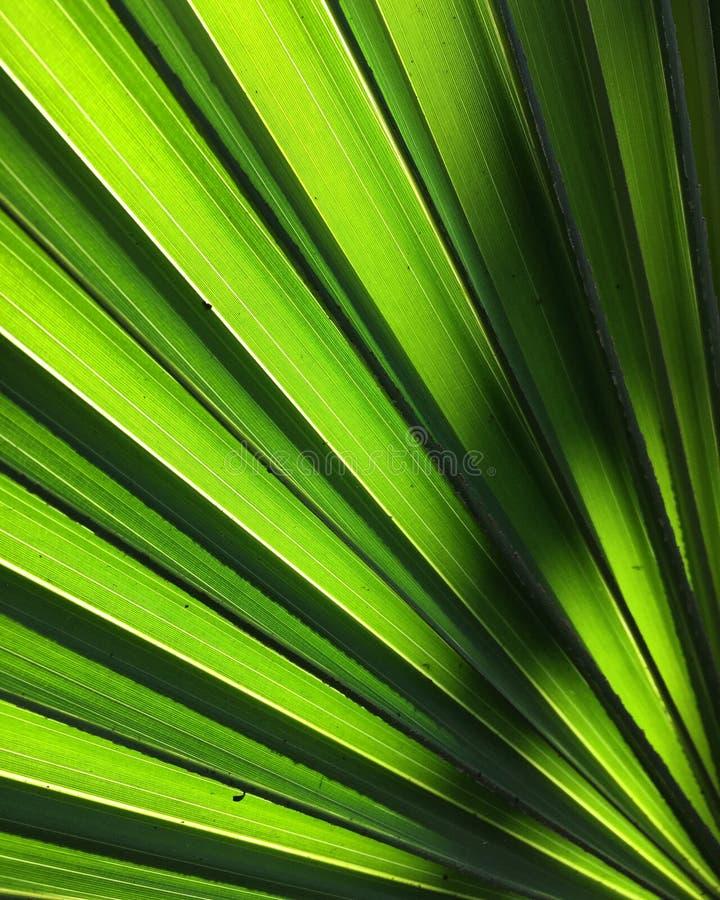 tło kolorów zieloną liści drzewka palmowego clement żółty Backlit fotografia royalty free