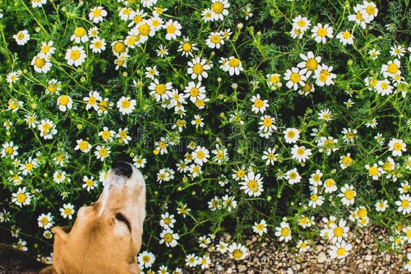 Tło kwiatonośne stokrotki I beagle psi wąchać Leucanthemum vulgare Ogród obraz stock