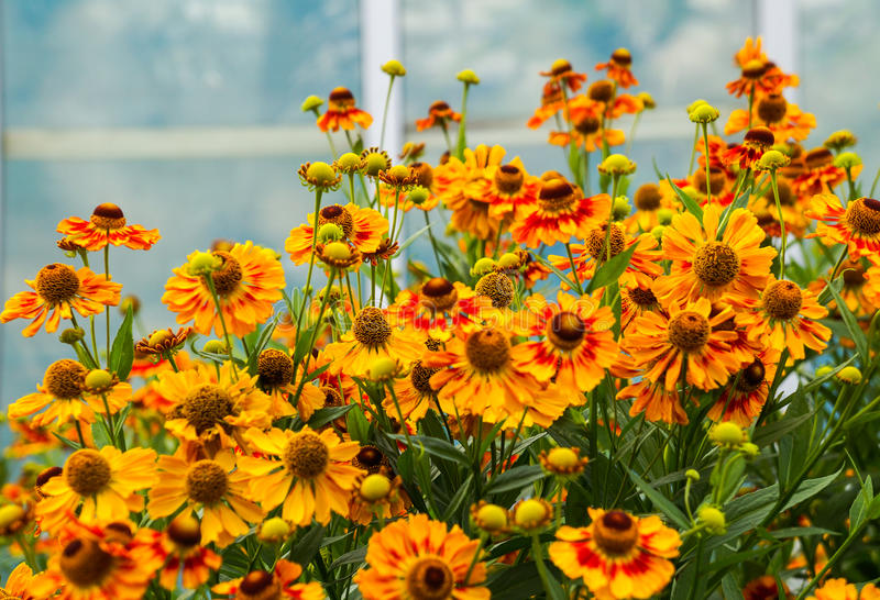 Tło kwiatu Gelenium hybryd obrazy royalty free
