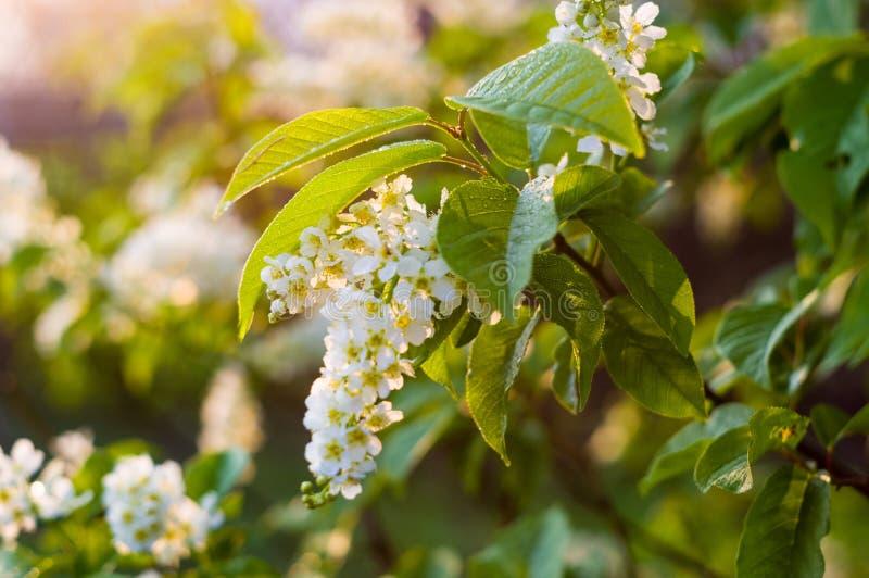 Tło kwitnąć pięknych kwiaty biała ptasia wiśnia w raindrops na słonecznym dniu w wczesnej wiośnie zamkniętej w górę, miękka ostro zdjęcie stock