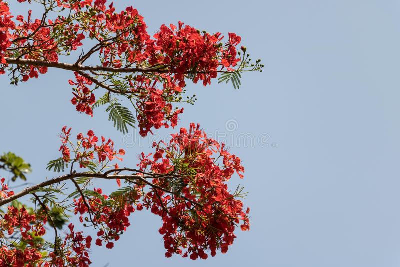 tło kwitnie czerwonego biel obrazy stock