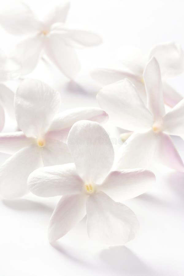 tło kwitnie jaśminu nad biel zdjęcia stock