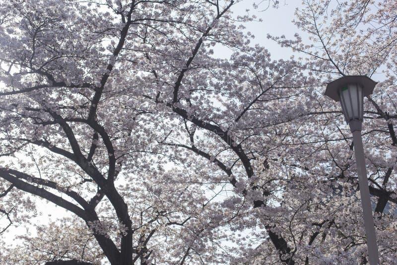 Tło, latarnia uliczna i czereśniowi okwitnięcia w Osaka, Roszujemy w Japonia fotografia stock