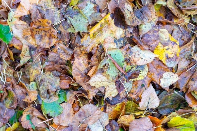 Tło liści klonu Jesienne listwy na ziemi obraz stock