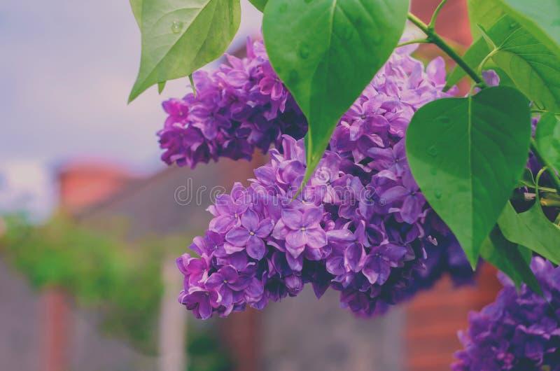 Tło Lili kwitnący bzy bez kwiatów zdjęcie royalty free