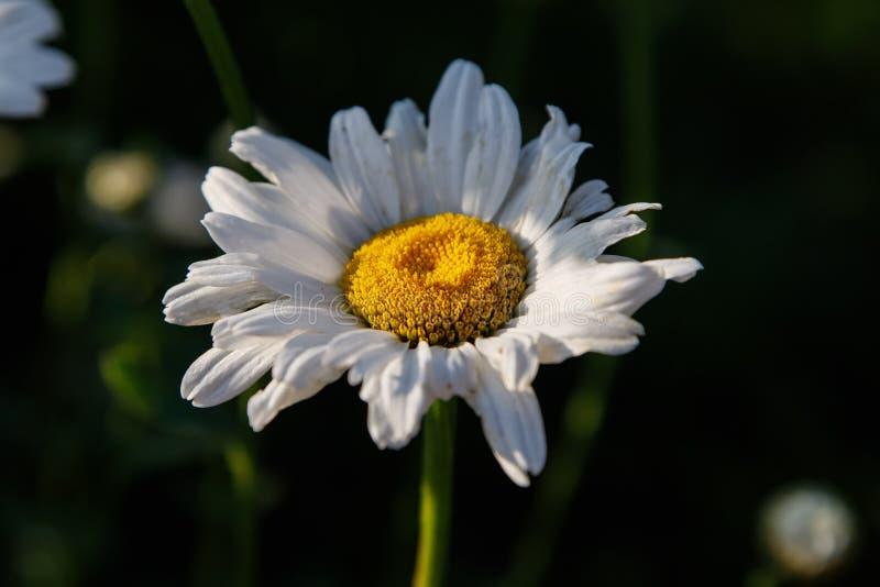 Tło lub tekstura czerwoni kolory begoniaChamomile biały kwiat, stokrotka/ Makro- Wizerunek natura obrazy royalty free