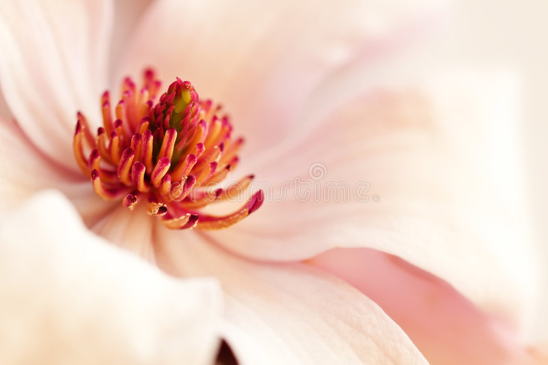 tło magnolii menchie obrazy stock