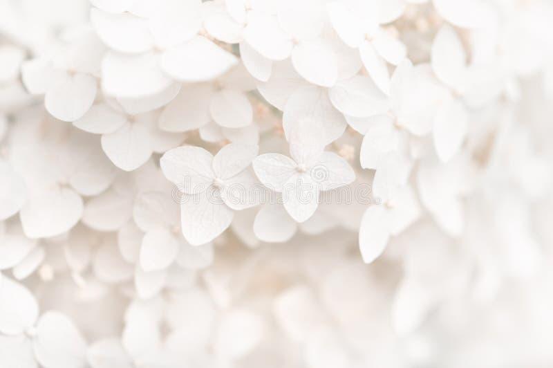 Tło mali biali kwiaty hortensja, tekstura Selekcyjna ostro?? Piękny i marzycielski sztuka wizerunek obraz royalty free
