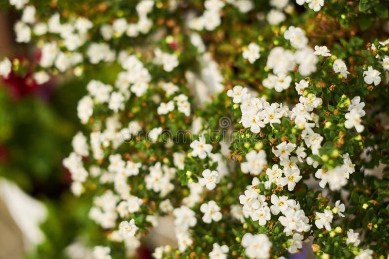 Tło mali biali kwiaty w ogródzie fotografia stock