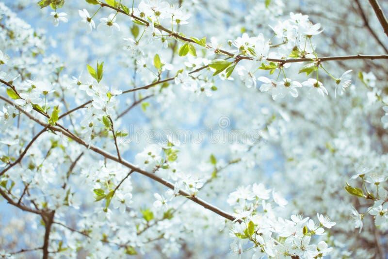 tło mleczy spring pełne meadow żółty Czereśniowego okwitnięcia drzewa, biali kwiaty i zieleń liście na niebieskiego nieba tle, zdjęcie royalty free