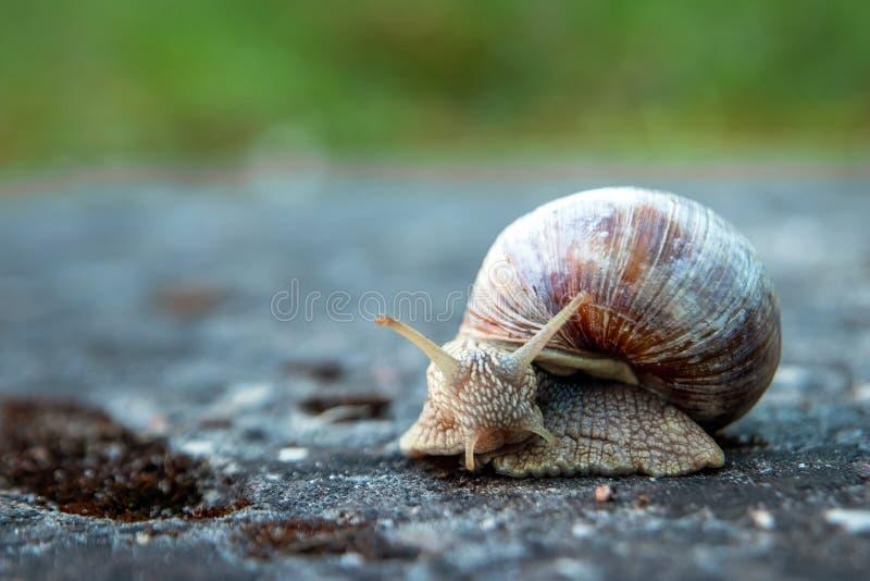 Tło, natura, ślimaki czołgające się na kamieniu w parku, zbliżenie, miękka uwaga Ślimaki w parku miejskim Dzikie zwierzęta zdjęcie royalty free