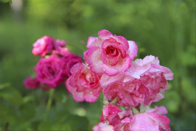 Tło natura piękno R??owe r??e z rosa kroplami w ogr?dzie fotografia stock