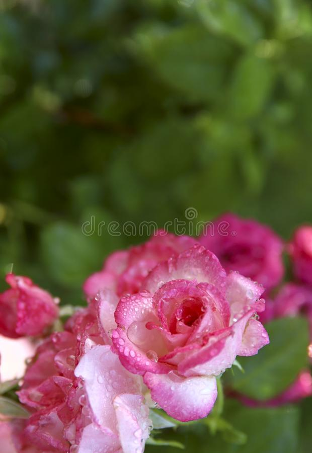 Tło natura piękno R??owe r??e z rosa kroplami w ogr?dzie obrazy royalty free