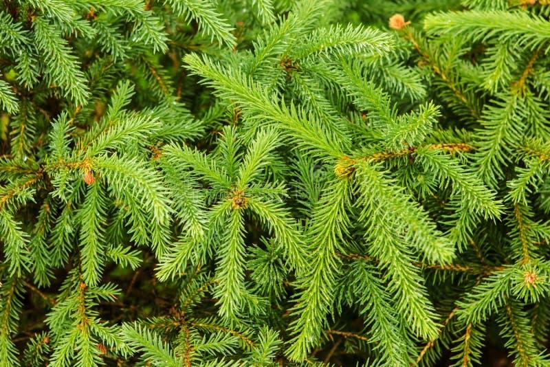 Tło od zielonej drzewo gałąź fotografia stock