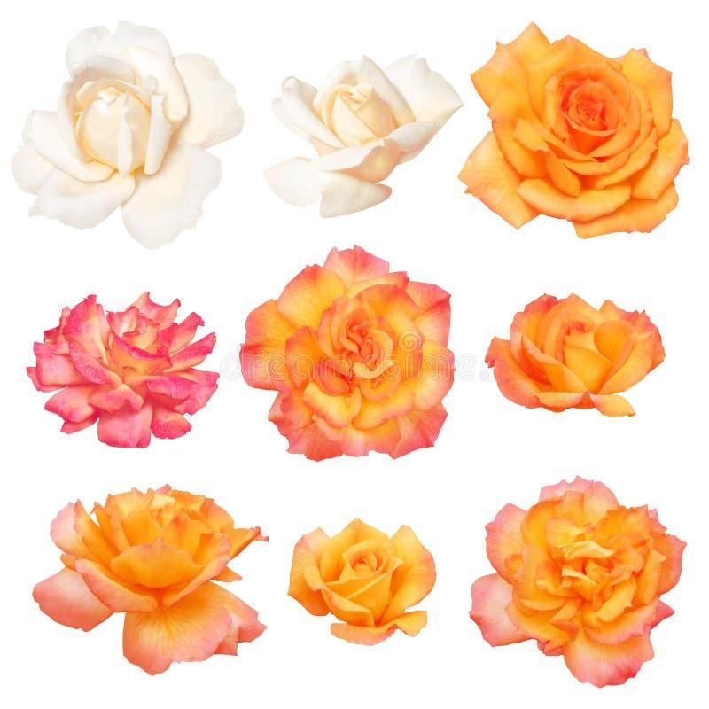 tło odizolowywający ścieżki róż wektoru biel ilustracji