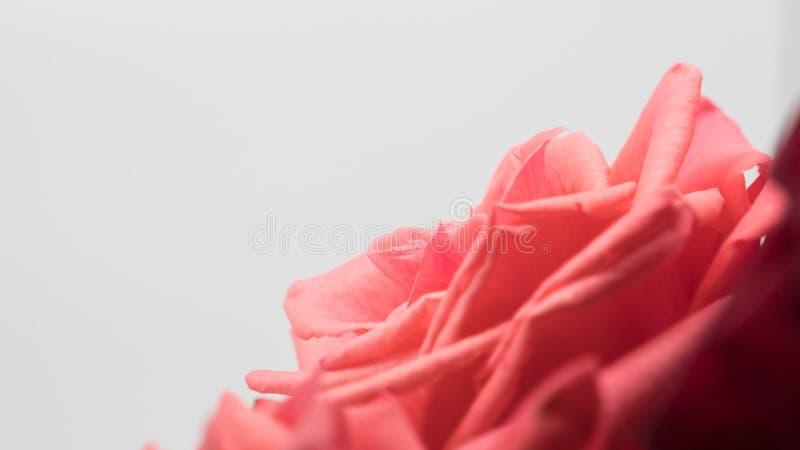 tło odizolowywający menchii róży biel fotografia royalty free