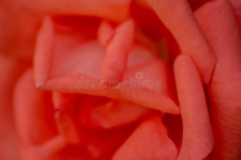 Tło piękna czerwień tworzył z zakończeniem w górę fotografii różani płatki obrazy royalty free
