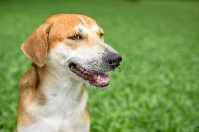 tło psa pojedynczy uśmiechasz whiete głowy zdjęcia royalty free