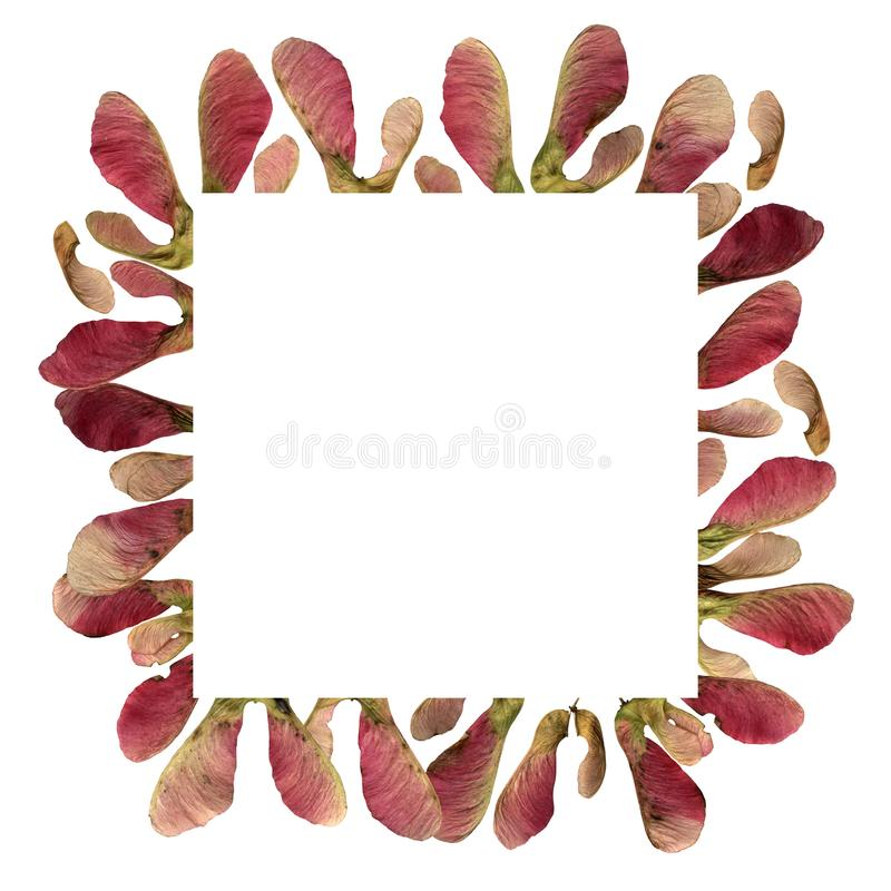 Tło ramki z różowym klonem obrazy stock