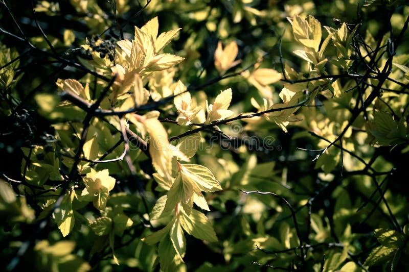 Tło roślina jest krzaka młodymi liśćmi w wiośnie obrazy royalty free