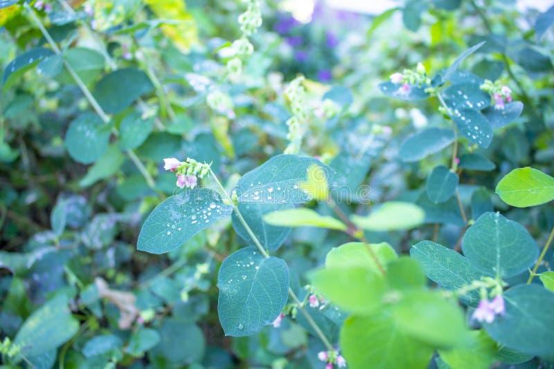 Tło, rosa krople kłama na zieleni leaves1 obraz royalty free