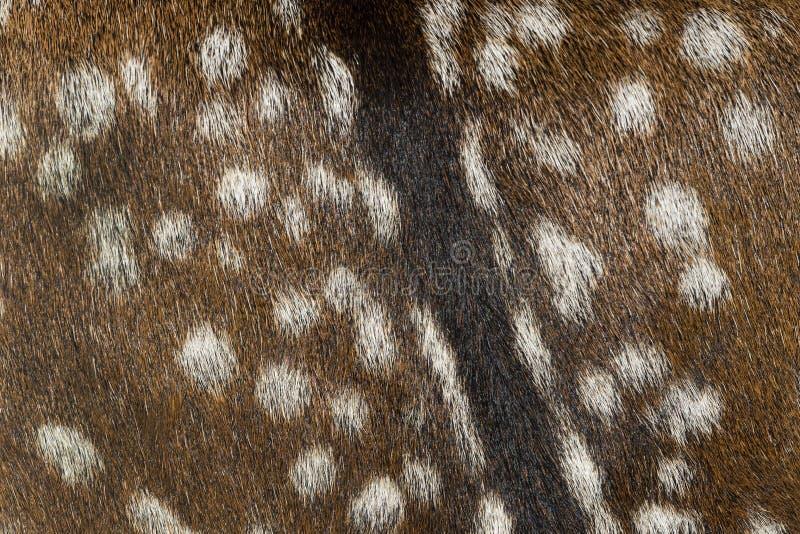 Tło skóra młody rogacz zdjęcie royalty free