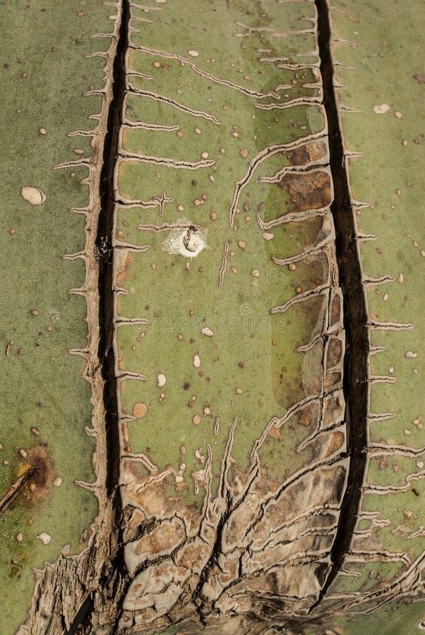 Tło stary zieleni i beżu agawy liść z bliznami fotografia royalty free