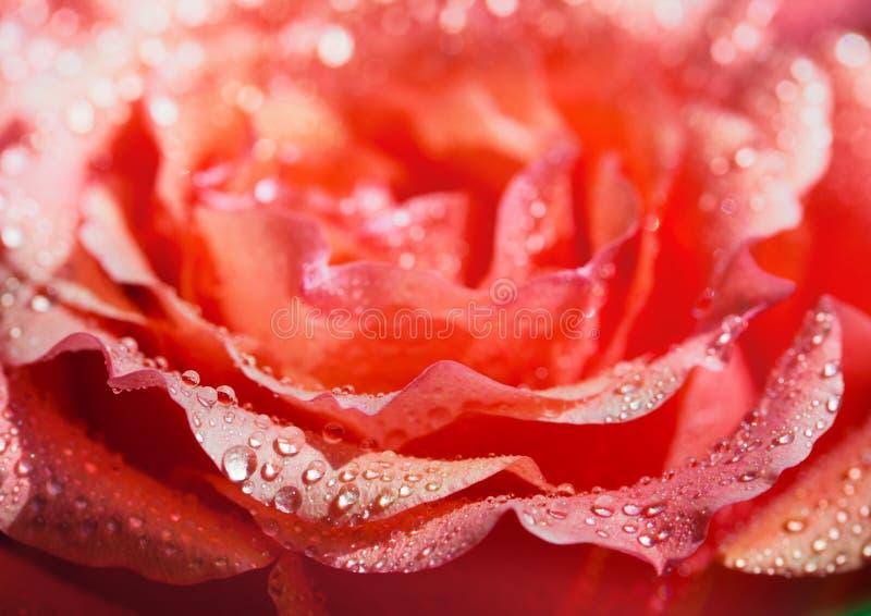 tło szeregu różane kwiecistych płatków zdjęcia royalty free