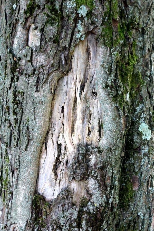 Tło tapetowa tekstura stara krakingowa jasnopopielata drzewna barkentyna stronniczo zakrywająca z ciemnozielonym mech w lokalnym  fotografia stock