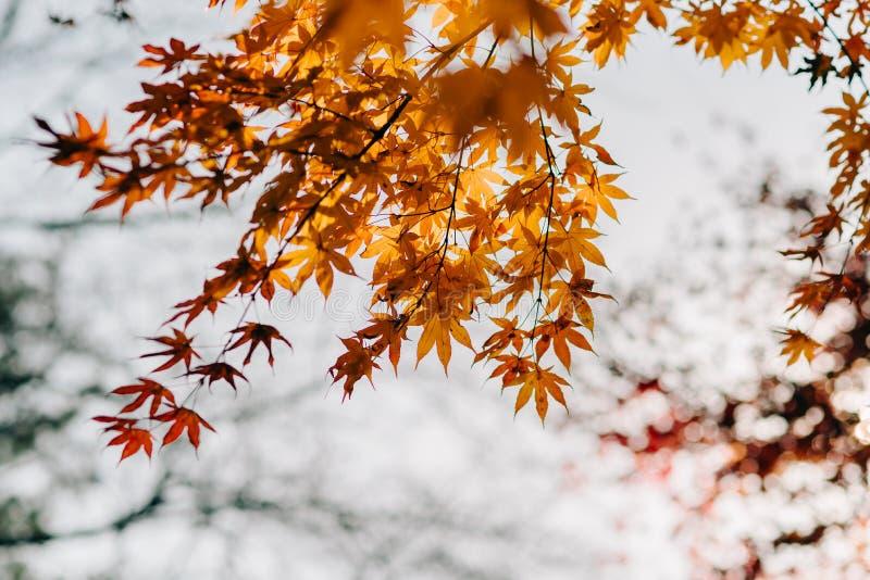 Tło tekstura kolor żółty Opuszcza jesień liścia tło fotografia royalty free