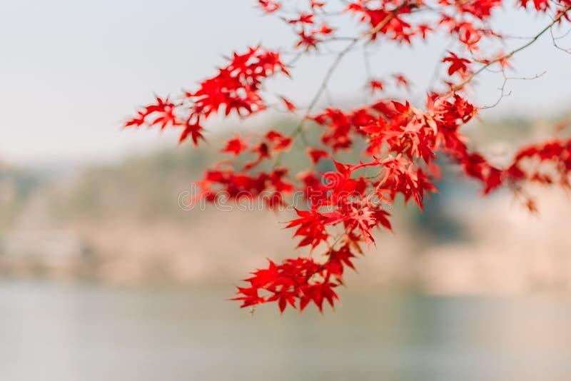 Tło tekstura kolor żółty Opuszcza jesień liścia tło obrazy stock