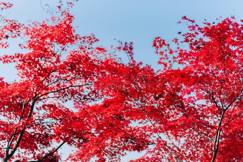 Tło tekstura kolor żółty Opuszcza jesień liścia tło zdjęcia stock